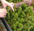 Yew propagation of local provenance by Coillte staff @ Kilmacurra Nurseries