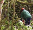 Removing and stump treating rhododendron at Site 3, Hazelwood